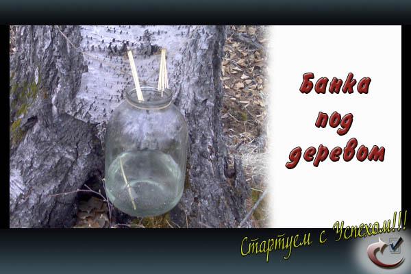Березовый сок в банке по деревом